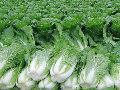 绿色蔬菜基地