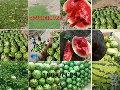 硒砂瓜种植地