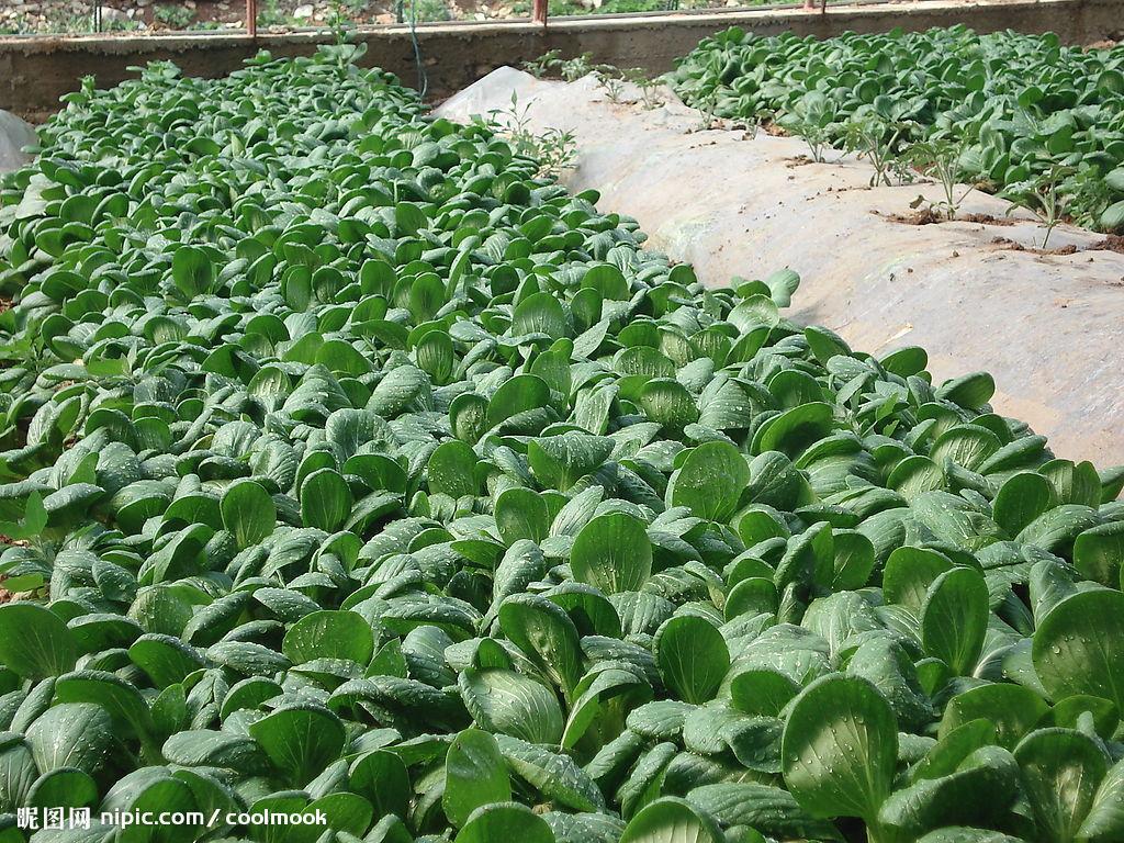 供应:聊城市于集镇梁庄村大量供应油菜2元/斤