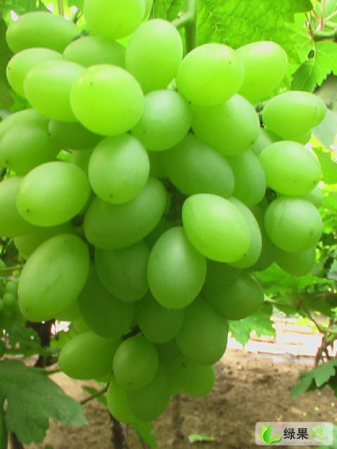 优质套袋青提(维多利亚)葡萄!