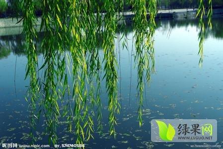 壁纸 垂柳 风景 柳树 摄影 树 桌面 449_300