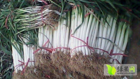 生物大葱的根系结构图