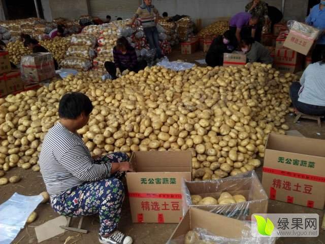 2017年土豆价格行情 河北秦皇岛昌黎土豆基地中薯5每年5-8月大量供货