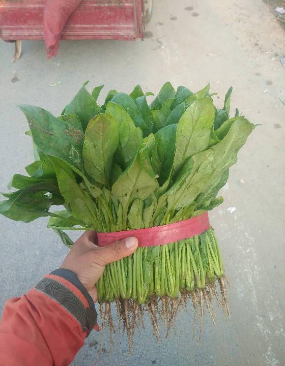 供应:河南安阳滑县大叶菠菜图片