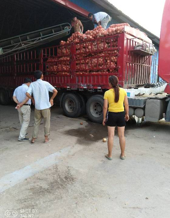 v洋葱:江苏丰县四百五吨洋葱收购的黄皮前期出售长豌豆绒毛草图片