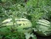广西雁山甜王系列最后一批晚瓜,30000斤