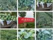 许昌鄢陵产地头茬恒耀大量上市,个大瓜甜,平台美丽,方便运