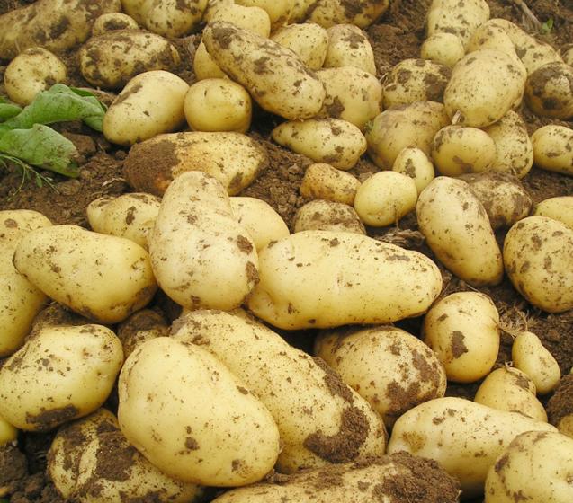 tudou_内蒙古土豆价格恐怕难有上涨的趋势