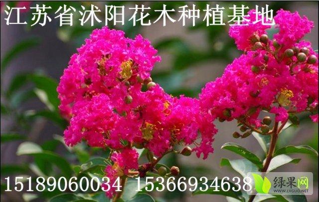 江苏省沭阳县花木种植基地大量供应紫薇树苗