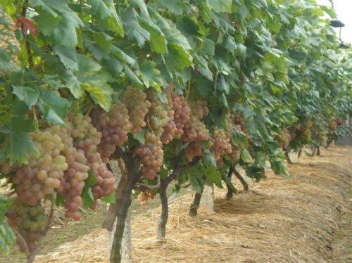 广西桂林市全州县供应大量优质葡萄