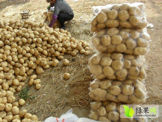 2014年土豆价格行情 河北秦皇岛昌黎大棚中薯5土豆5月10日左右上市  &
