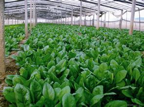 11月到1月上市 品 种:大叶菠菜 规 格: 价 格:0.图片