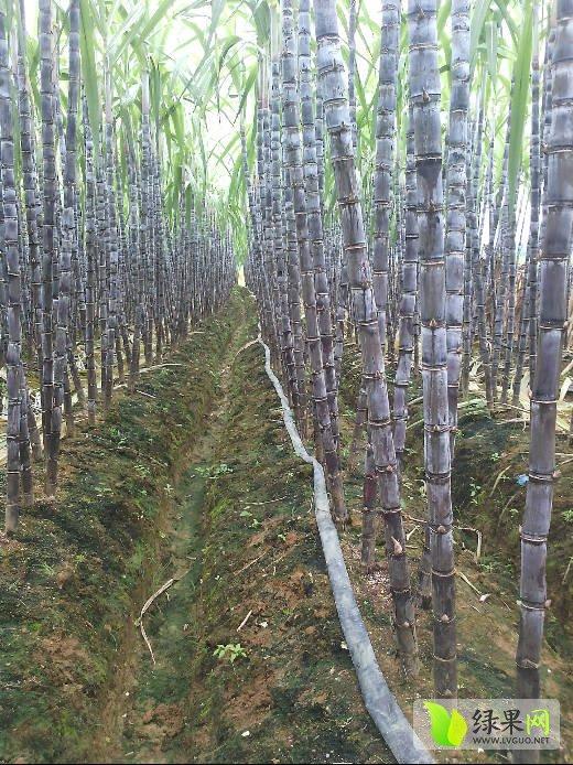 壁纸 风景 树 植物 桌面 桦林 桦树 520_694 竖版 竖屏 手机