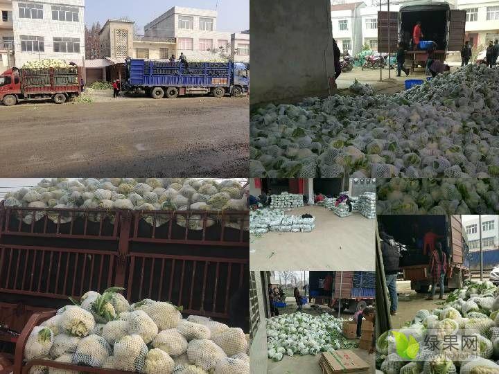 十万亩白花菜、旺旺甘蓝、有机花菜、西兰花,每天海量供货