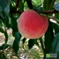代办应季各种毛桃,黄桃