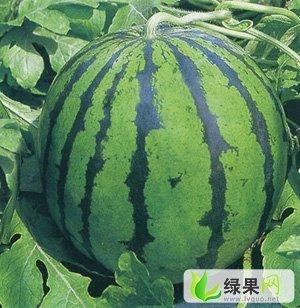 衡水市漫河焦圣:京欣0.9-1.0元/斤
