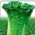 太谷白菜西瓜