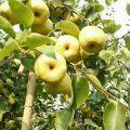 万亩酥梨产地