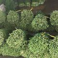 内洞韭菜种植户