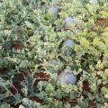无籽西瓜现开始大量上市