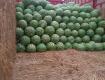 会宁西瓜硒砂瓜著名品种