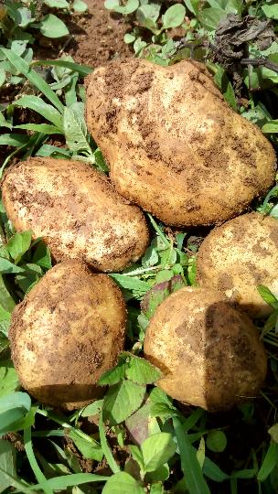 中薯系列价格