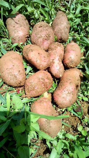 青薯9号价格