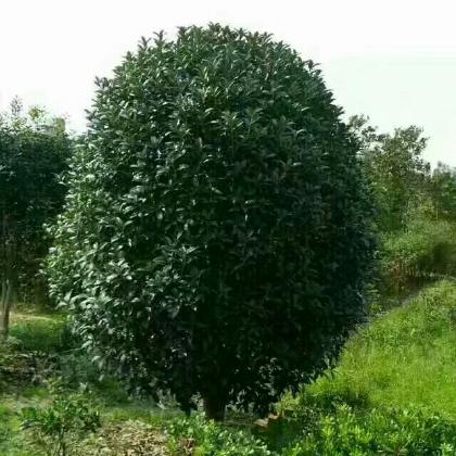 大小,多种规格潢川金桂树苗