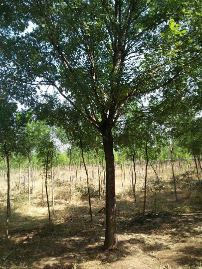 山东省无棣县大量白腊树10一20公分的