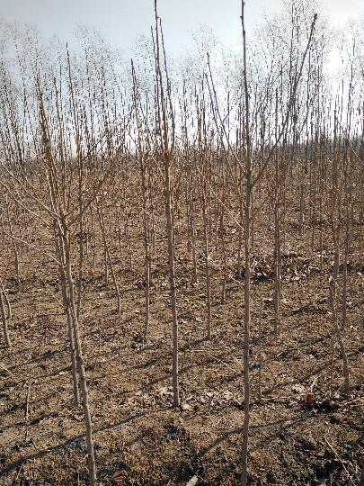 清苑大柳韩伟卿3月银杏树绿化苗木