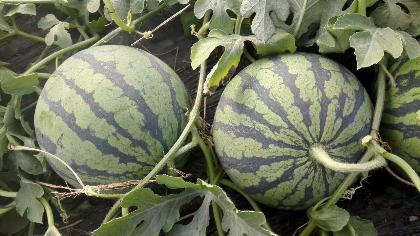 江苏省沭阳县主演种植8424特小凤和青椒