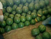 饶阳优质西瓜大量上市,八斤打底