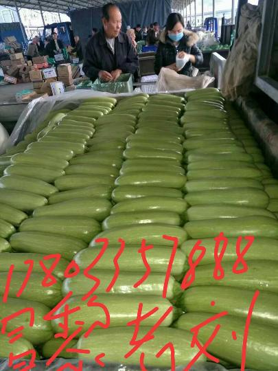 昌黎西葫芦大量上市,品种有绿瓜