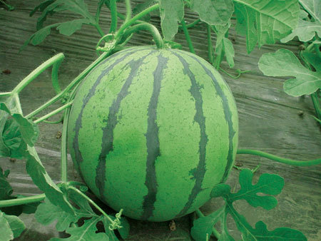 大量供应西瓜