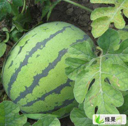 濮阳市福坎贾先生:京欣0.85-1元/斤