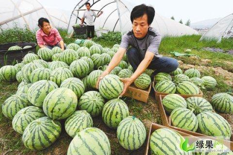 湖南省岳阳市君山区西瓜产区介绍