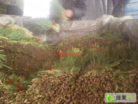 河北乐亭昆仑韭菜:毛庄陈先生