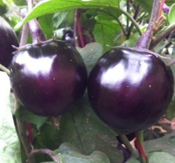 紫光圆茄价格