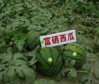 今年可提前一周吃上富硒西瓜了