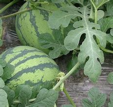 河南南乐五月中旬开始供应各品种西瓜