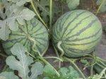 广西江南红虎西瓜已经成熟 随时进产地看瓜