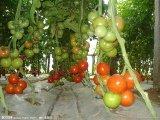 河北乐亭硬粉西红柿 质量好,价格低
