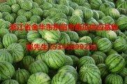 浙江金华市东阳西瓜供应基地-金华西瓜代办