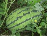 安农二号西瓜瓜大皮薄,瓤多味甜,颜色鲜红多汁