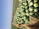 西瓜个头大、口味甜、颜色好、价格便宜
