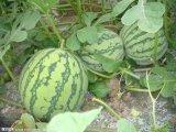 江西大棚西瓜瓜形美觀 口感清甜 商品性好