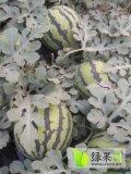南乐西瓜是名优特产,欢迎前来订购