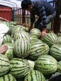 新疆吐鲁番市地雷瓜西瓜长势旺盛