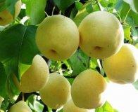 陕西大荔皇冠梨是名优特产