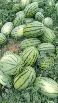 吐鲁番市抗二大果王上市了价格现在一斤0.5